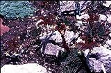 Staudenkulturen Wauschkuhn Jovibarba heuffelii - Wirbel-Steinwurz - Staude im 9cm Topf