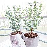 Eucalyptus gunnii'Azura'   Mostgummi-Eukalyptus   Eukalyptus Baum   Winterharte Pflanzen für Garten   Höhe 20-30cm   Topf-Ø 13cm