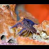Zierfischtreff.de Procambarus alleni - Blauer Floridakrebs inkl. Einer Futterprobe der Bayerischen Aquaristikmanufaktur