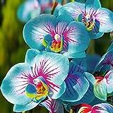 TOYHEART 100 Stück Premium-Blumensamen, Phalaenopsis-Samen Aromatische Cymbidium-Pflanzen Mehrjährige Orchideen-Blumensämlinge Für Das Amt Blau
