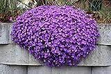 Blaukissen Violett 120 Samen, Aubrieta V