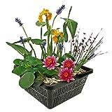 Mini Teichpflanzen Set - Multi - 1 rote Seerose, 1 Sauerstoffpflanze und 2 Wasserpflanzen inklusive Teichkorb. - Einfach und schnell Ihren eigenen Miniteich - Van der Velde Wasserp