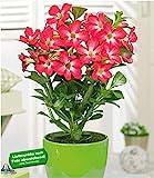 BALDUR Garten Wüsten-Rose 'Rot', 1 Pflanze Adenium Zimmerpflanze blühend Zimmerpflanze