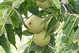 Schwarznuß Juglans nigra Pflanze 25-30cm Schwarznussbaum Walnuß Nussbaum Rarität