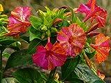 Wunderblume (Bio-Saatgut) 20 Samen