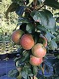 Säulenapfel Canada, Apfelbaum 3 jährig ca.100/120 cm. im Container. Säulen Spätsommer Äpfel