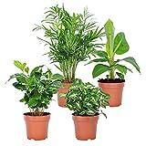 4er Set 'Fresh'   Tropische Zimmerpflanzen Set   Vier Grünpflanzen   Höhe 25-30 cm   Topf-Ø 12 cm