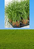 3 Stück Premium Katzengras Pflanze mit Topf Cyperus Zumula Ø 12 cm | Cyperus Katzengras fertig gewachsen | Leckereien für Katzen Gras Pflanze Katzengras Topf Cat Grass