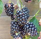 Zuckerbrombeere `Asterina´, stachellose Brombeerpflanze mit sehr süßen Früchten, 40-60cm im Topf