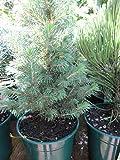 Picea glauca Biesenthaler Frühling - Zuckerhutfichte Biesenthaler Frühling - Weiß-Fichte - Schimmel-Fichte -