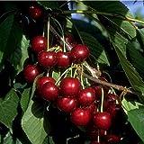 Süsskirsche Kirschbaum Lapins Kirsche selbstfruchtend 120-150 cm 2-jährig im 7,5 L Top