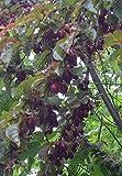 Blutpflaume Prunus cerasifera 'Nigra' Pflanze 25-30cm Blut-Pflaume Kirschp