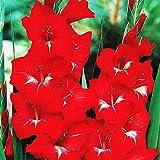 5x Blumenzwiebeln gladiolen Mehrjährige winterharte pflanzen Gladiolen rot großblumige Gladiolus T