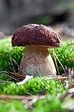Pflanzen Sie Ihre eigenen Pilze! - Myzel für Kiefern-Steinpilz (Boletus Pinophilus) - von Mycelium