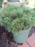 Pinus mugo Pumuckl - Zwerg-Kiefer Pumuckl - Bergfö