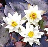 Wasserpflanzen Wolff - Nymphaea 'tetragona' im Pflanzkorb - Zwergseerose, weiß