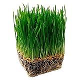 Steelwingsf Gartenblumenkerne Zum Pflanzen Im Freien, 1 Beutel Katzengrassamen Frische, Fruchtbare, Kleine, Lebensfähige Pflanzensamen Für Den Garten Katzengrassamen