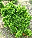 Muschelzypresse Chamaecyparis obtusa Nana Gracilis 20-25 cm breit im 1,5 Liter Topf