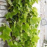 Parthenocissus tricuspidata'Fenway Park' | Kletterpflanzen Winterhart Mehrjährig | Wilder Wein Pflanzen | Höhe 65-75 cm | Topf-Ø 15 cm