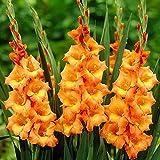 Gartenpflanzen 5x Gladiolen Zwiebeln garten Freilandpflanzen Gladiolus Gladiolen orang