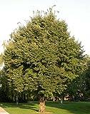 50 Littleleaf Linden Tree Samen, T