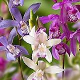 3x Bletilla striata | Orchideen Blumenzwiebeln Winterhart | Sommerblüher Mischung | Garten und Balk