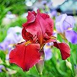 3Stücke Irisbirne Rote Iris steht für Leidenschaft starke Vitalität geeignet für das im Innen und Außenbereich Geschnittene Blumentöpfe sind exquisite Weihnachtsgeschenke