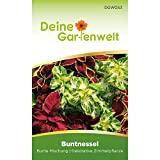 Buntnessel bunte Mischung   Coleus blumei   Samen für Zimmerpflanzen   Samen für Topfpflanzen