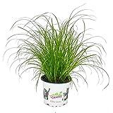 Exotenherz - Katzengras - Cyperus alternifolius - 3 Pflanzen - zur Verdauungsunterstützung von Katzen