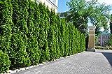 15st. Thuja Smaragd 50-70cm im Topf mit einem festen Ballen für 5m Hecke Lebensbaum Heckenpflanzen 'Edelthuja'