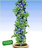 BALDUR Garten Säulen-Pflaumen 'Black Amber', 1 Pflanze, Prunus domestica Säulenobst winterhart Zwergobstb