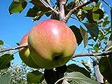 Müllers Grüner Garten Shop Apfelbaum Elstar Zwergapfelbaum Balkonobst Terrassenobst Zwergobstbaum 120-150 cm 5 Liter Topf M9