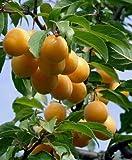 Mirabelle Prunus domestica subsp. syriaca Pflanze 15-20cm Gelbe Zwetschg