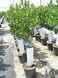 Zitronenbaum/Citrus eureka junger Baum gesm. ca. 135-140 cm