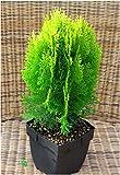 Thuja Platycladus Aurea nana - goldener Zwerg-Lebensbaum 17 cm Top