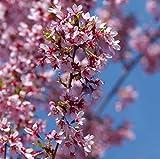 Zierkirsche Okame 100-125cm - Prunus Okame