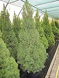 Baumschule Pflanzenvielfalt Picea glauca Conica - Zuckerhutfichte Conica