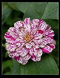 UEYR 17: 20PC Authentisches zinnie Samen. Colorfuls Samen Bonsai, alle Arten von Farben, einfache Aussaat