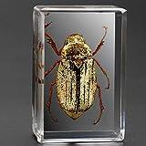 QLTY Echte Insektenproben,transparente Harz-Kreativmuster-Ornamente,Skorpion-Spinnenkäfer-Proben,Heimdekorationen,Insektenkäfer,eingefasst in kristallklares Harz (29 * 20 * 43 mm)
