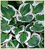 Garten Hosta,natürliche Luftreinigung und magische Rhizome zur Dekoration von Jade-Wirtspflanzen-30Rhizome
