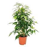Exotenherz - Ficus benjamini'Anastasia', Birkenfeige 14cm