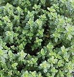 100 Samen von aromatischen Zitronenthymian SF122 (Breitblättriger Thymian)