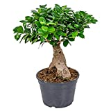 Bonsai Baum | Ficus 'Ginseng' pro Stück - Zimmerpflanze im Aufzuchttopf cm20 cm - ↕40 cm