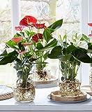 Anthurium andreanum'Alabama' | Anthurie rot inkl. Glasvase gross | Pflanzen im Glas | Höhe 40-45 cm | Glas-Ø 13x21 cm