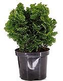 Chamaecyparis obt. nana gracilis - kleine Muschelzypresse, Zwergkonifere winterhart immergrün-Topf: 19 cm - Höhe: 25