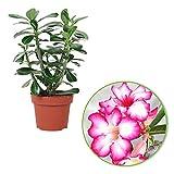 Adenium obesum   Wüstenrose   Exotische Zimmerpflanze   Höhet 30-35 cm   Topf-Ø 14 cm
