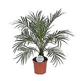Zimmerpflanze von Botanicly – Zwerg-Dattelpalme – Höhe: 60 cm – Phoenix roebelenii