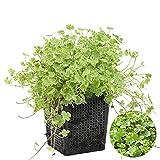 Gemeiner Pennywort | Hydrocotyle 'Variegata' - Teichpflanze & Sauerstoffpflanze im Aufzuchttopf cm11 cm - 15 cm