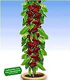 BALDUR Garten Säulen-Kirschen 'Stella', 1 Pflanze, Prunus avium Säulenobst Kirschbaum