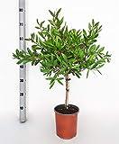 Blume von Botanicly – Zylinderputzer – Höhe: 65 cm – C